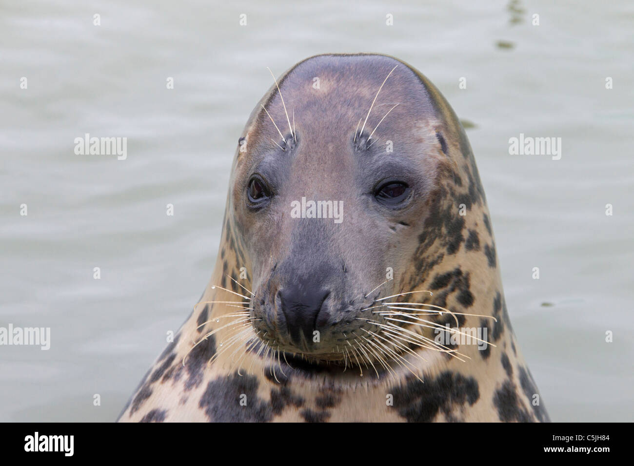 Grey seal / Gray seal (Halichoerus grypus) swimming, Waddensea, Germany Stock Photo