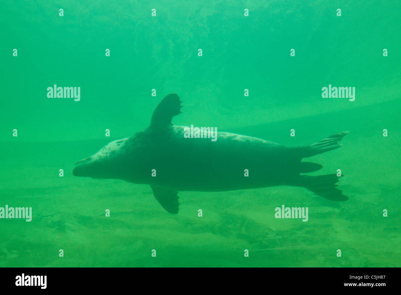 Grey seal / Gray seal (Halichoerus grypus) swimming underwater, Germany Stock Photo