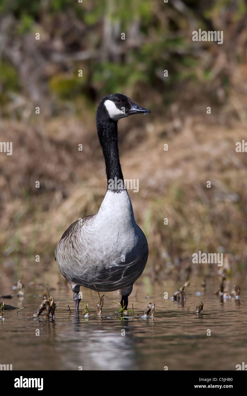 Canada Goose (Branta canadensis) in lake, Dalarna, Sweden - Stock Image