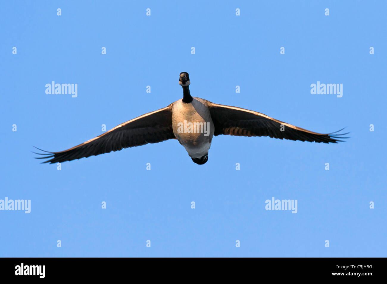 Canada Goose (Branta canadensis) in flight, Dalarna, Sweden - Stock Image