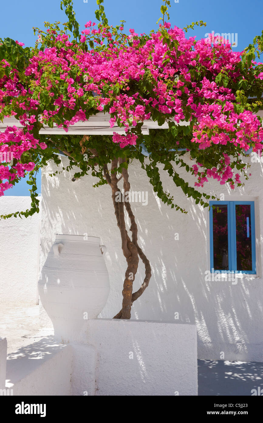 Fira - white house with blooming bougainvillea flowers, Santorini  Greece, - Stock Image