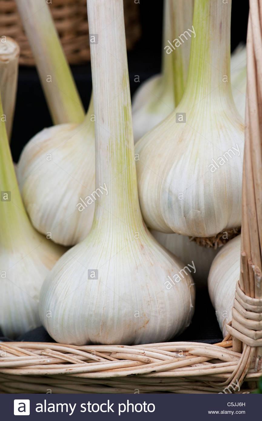 Allium ampeloprasum . Elephant garlic bulbs in a basket - Stock Image