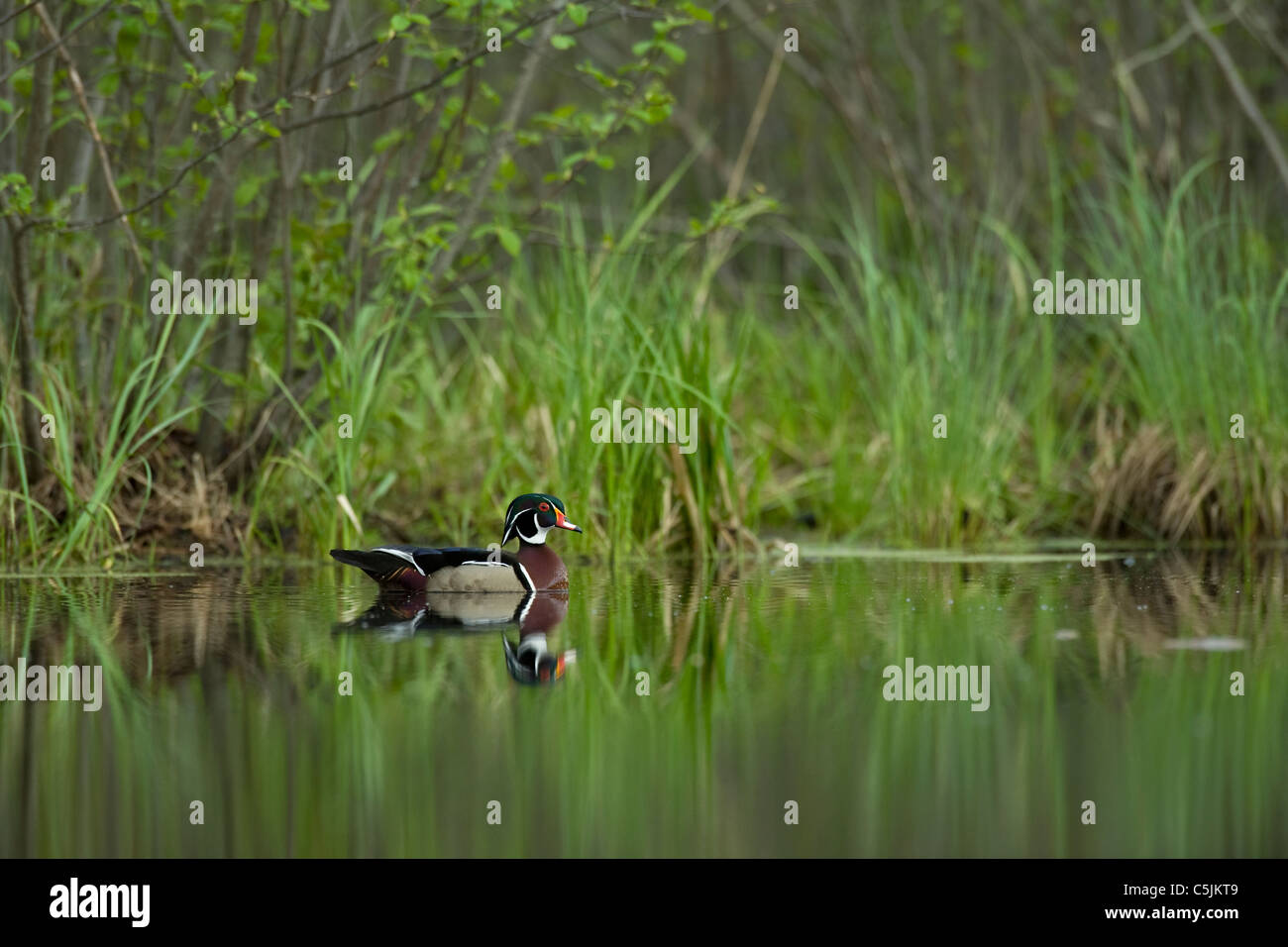 Wood duck drake on pond Aix sponsa Eastern United States - Stock Image