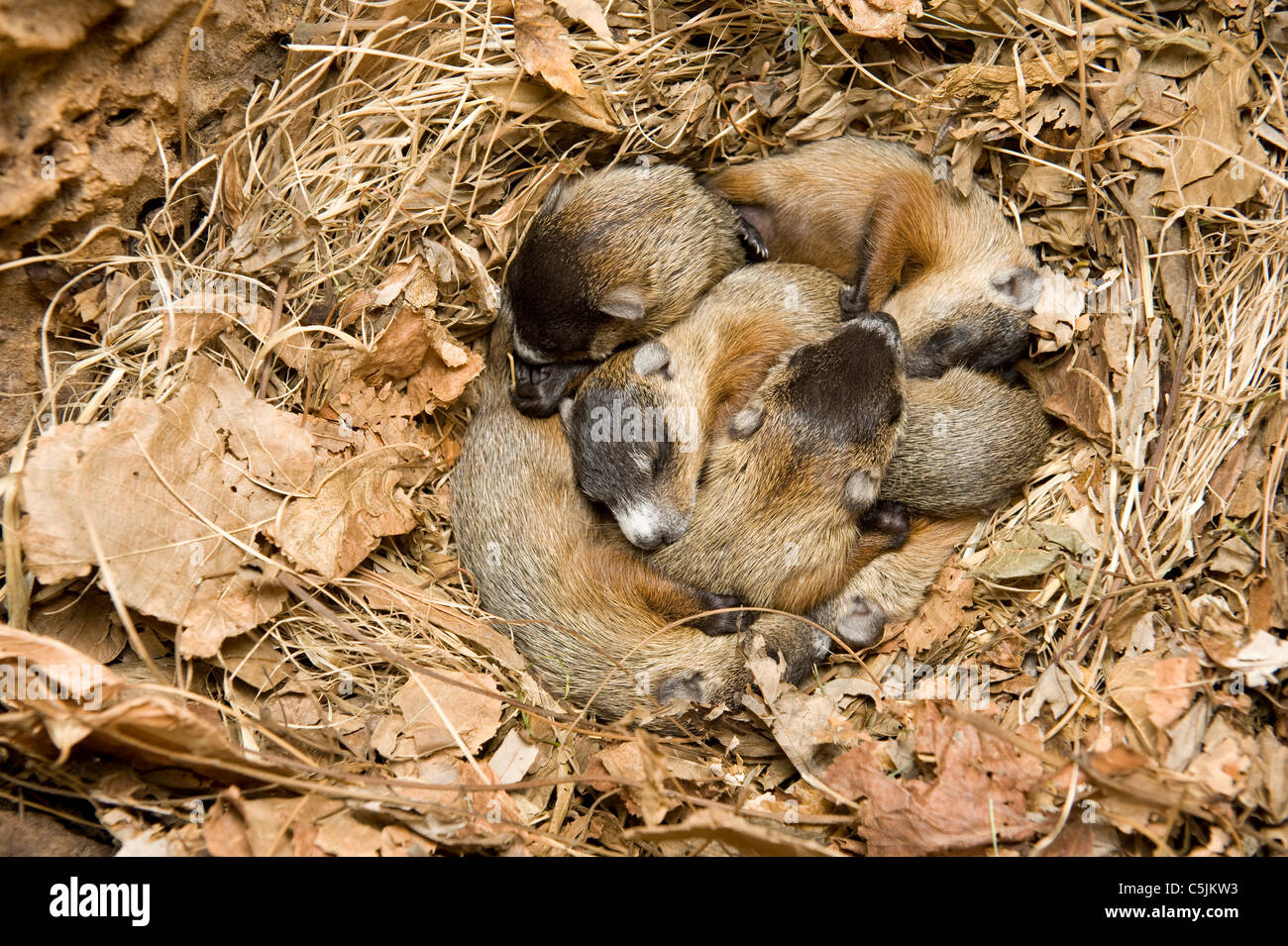 Litter of newborn Woodchucks in den Marmota monax also known as Groundhogs Eastern USA - Stock Image