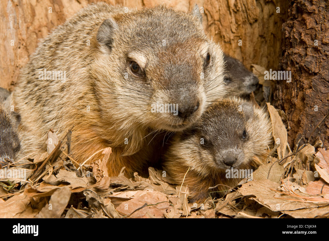 Woodchuck Mother Marmota monax inside den with one-month-old young North America Stock Photo