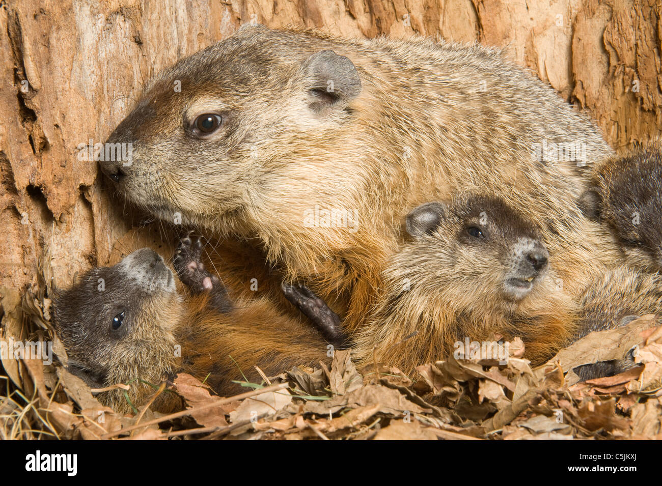 Woodchuck Mother Marmota monax inside den with one-month-old young North America - Stock Image