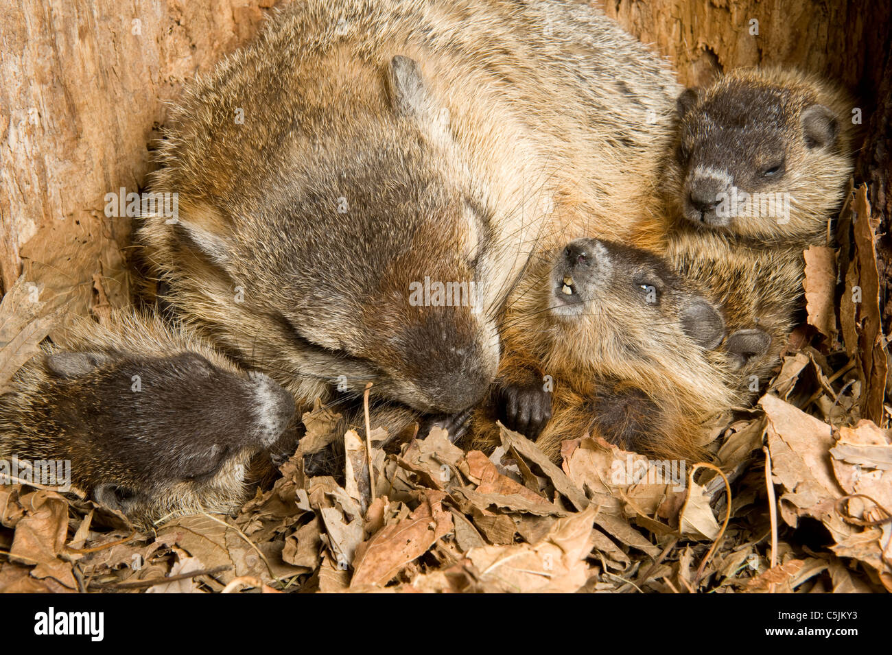 Woodchuck Mother Marmota monax inside den with one-month-old young North AmericaStock Photo