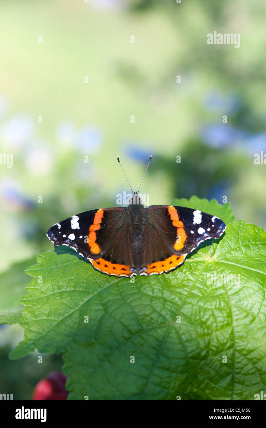 Vanessa atalanta . Red Admiral butterfly on a plant leaf - Stock Image