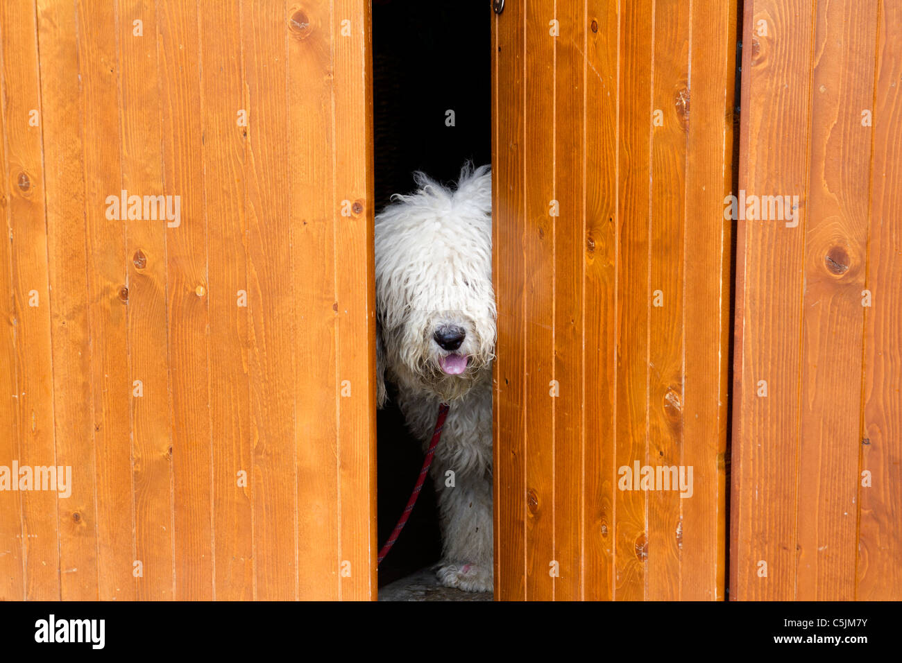 curious and shy dog hiding behind the wood door funny guard - Stock Image