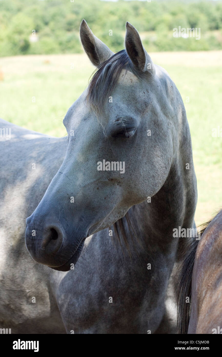 Arabian Horse in a paddock Equus ferus caballus Stock Photo