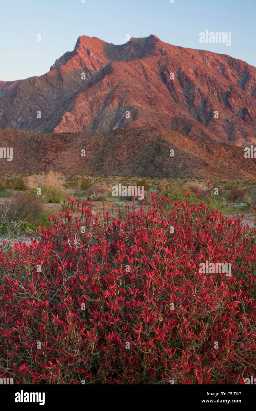 Chuparosa wildflowers and Indian Head mountain, Anza-Borrego Desert State Park, California. - Stock Image