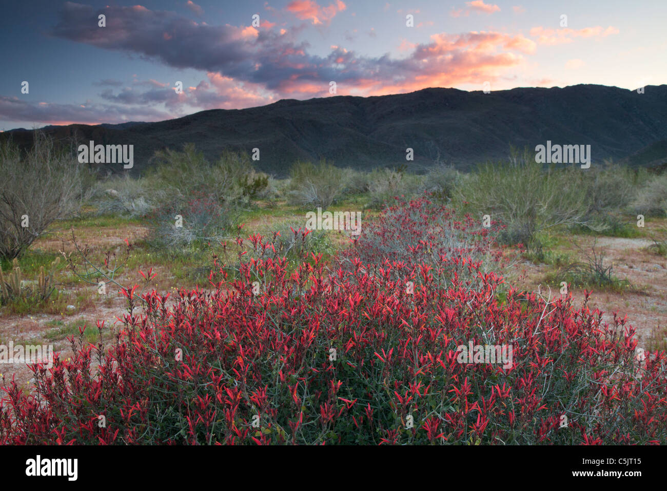 Chuparosa or Hummingbird Bush wildflowers in Anza-Borrego Desert State Park, California. - Stock Image