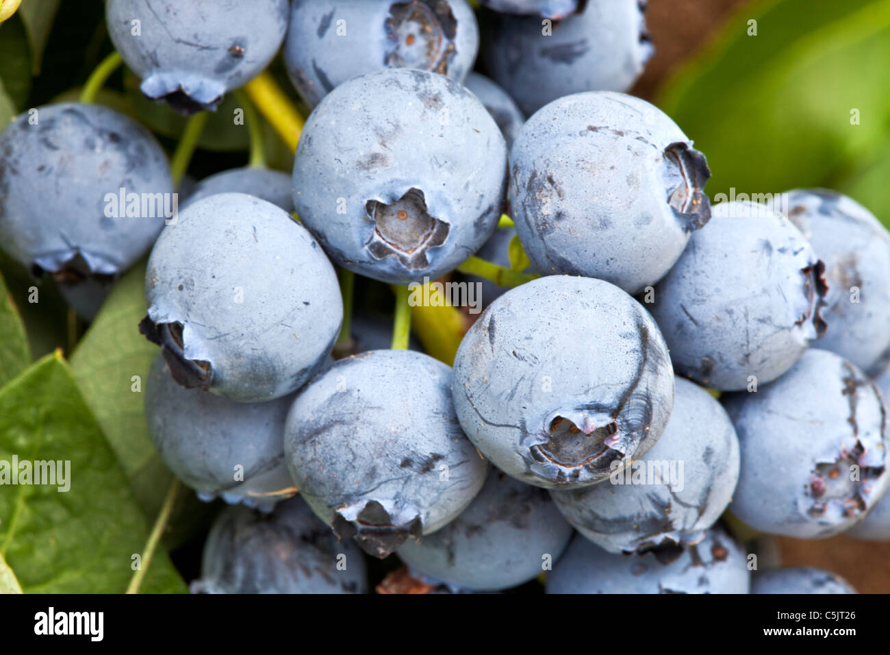 Blueberries 'Bluejay', branch. - Stock Image