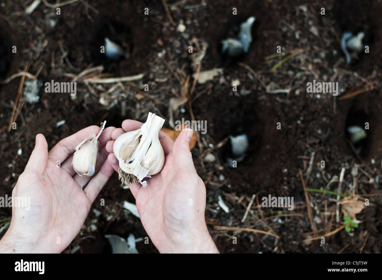 A gardener plants garlic in the fall. - Stock Image