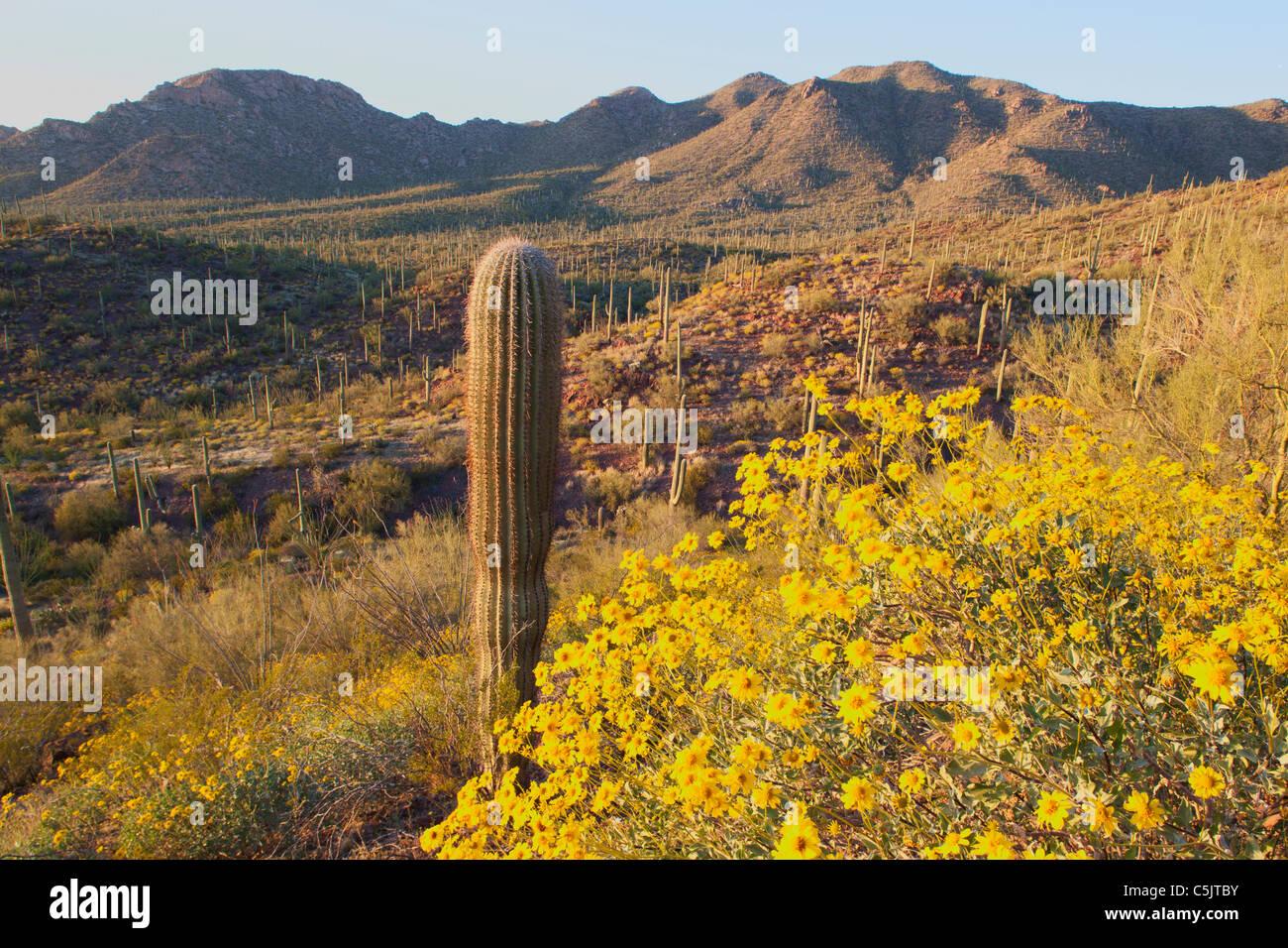 Cactus and wildflowers including brittlebush, in Saguaro West, Saguaro National Park, Tucson, Arizona. - Stock Image