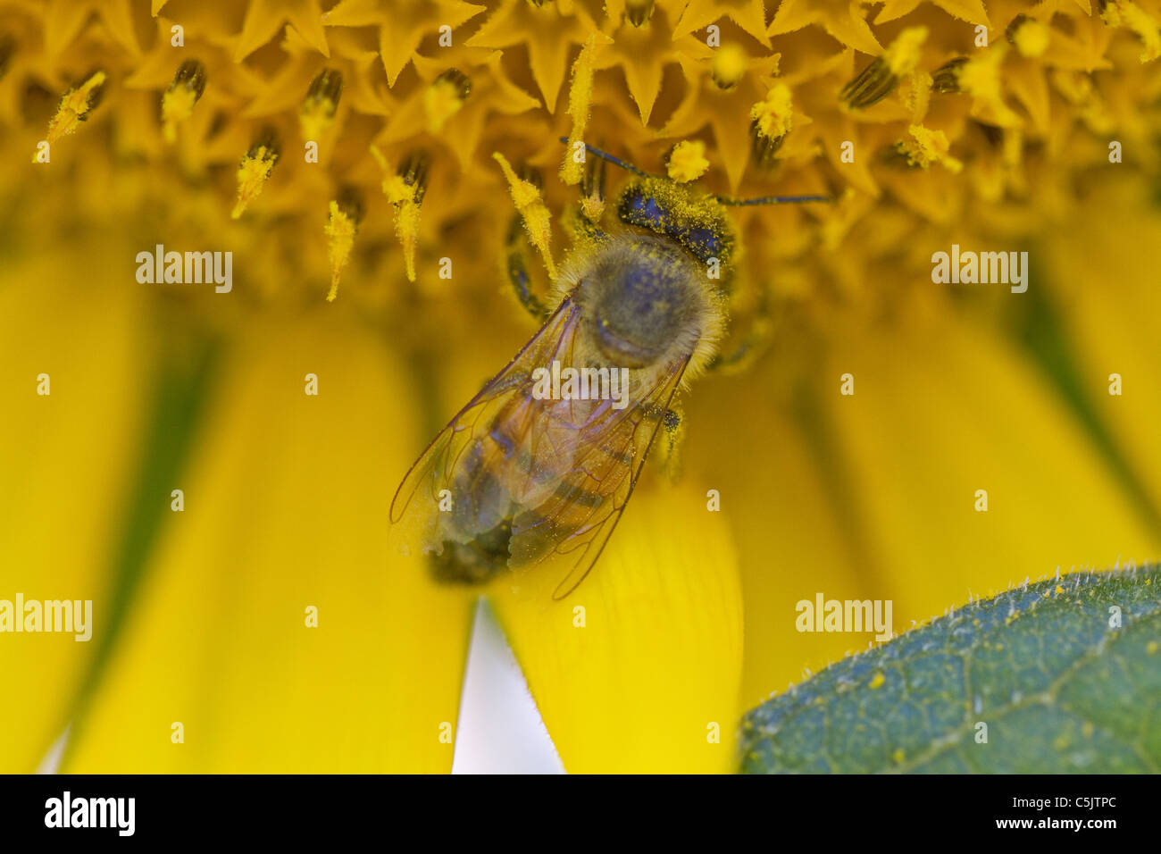 Closeup of a pollen-covered bee on a sunflower in Dixon, California. - Stock Image