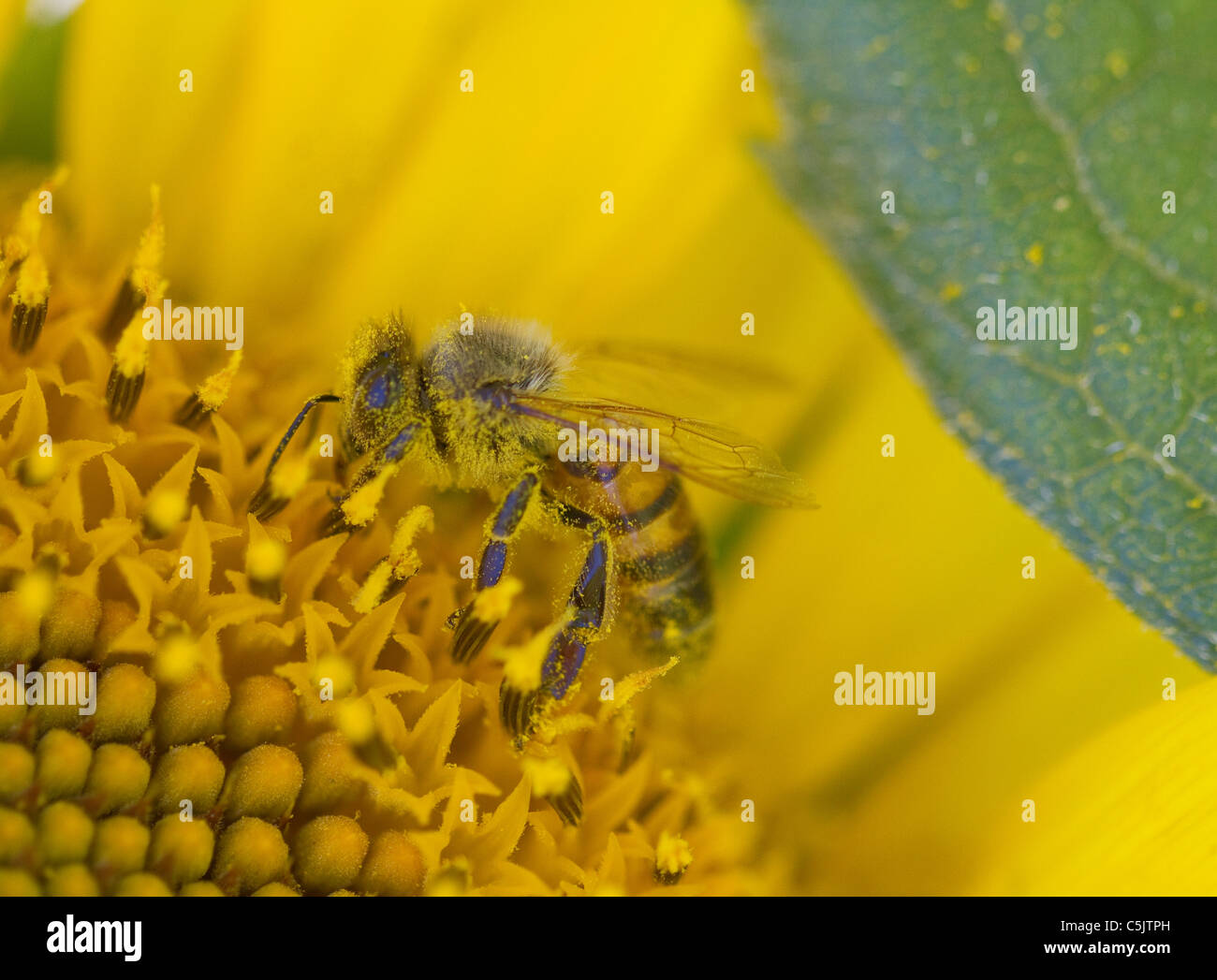 Closeup of a pollen-covered bee on a sunflower in Dixon, Solano County, California. - Stock Image