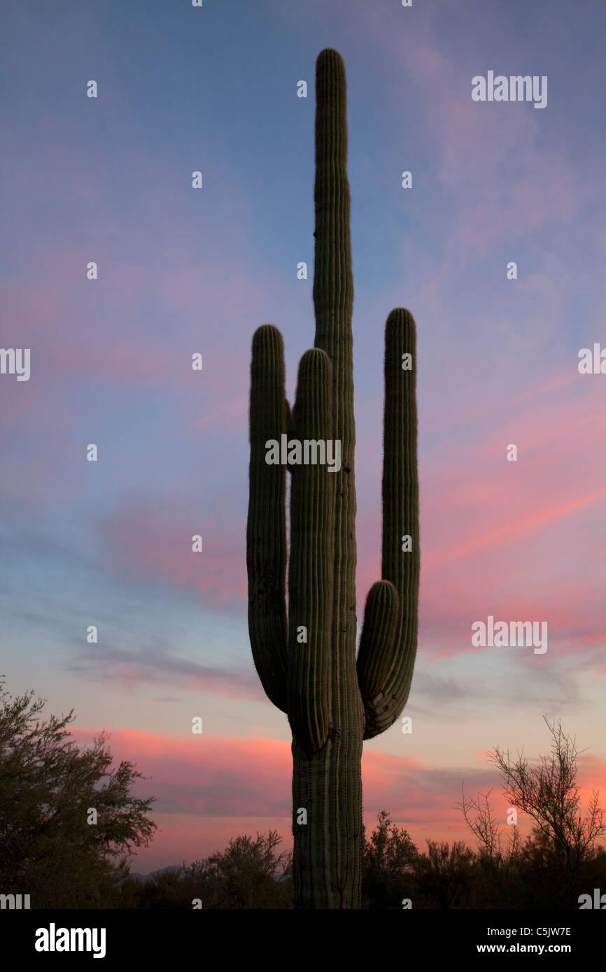 Saguaro cactus at sunset, McDowell Mountain Regional Park, Near Fountain Hills and East of Phoenix, Arizona. - Stock Image