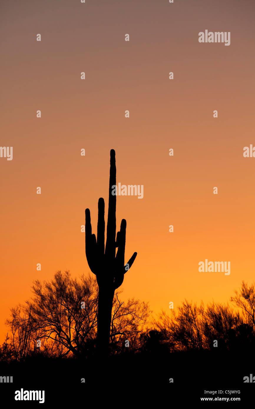 Sagaura cactus, Tonto National Forest, East of Phoenix, Arizona. - Stock Image
