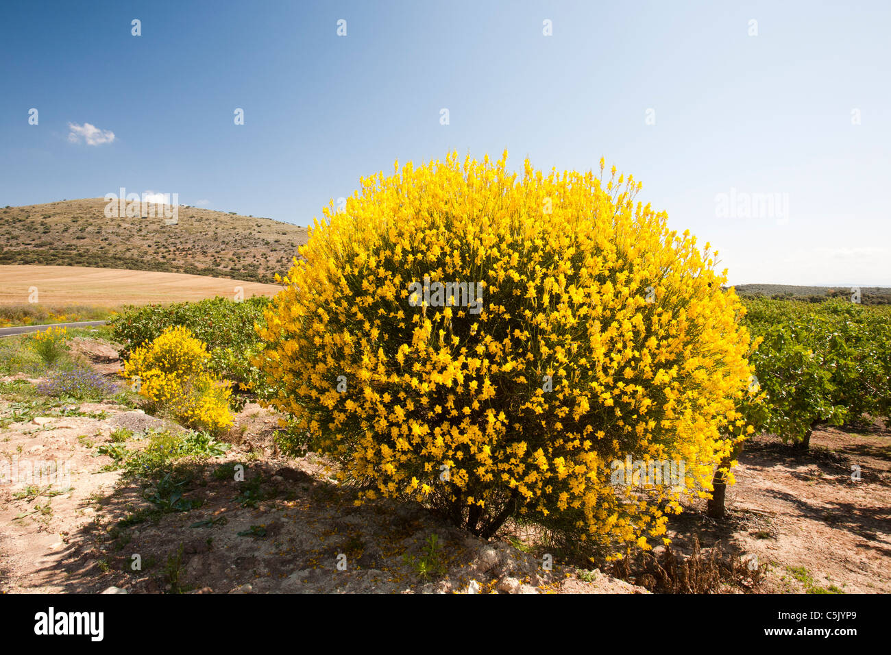 Yellow flowering bush stock photos yellow flowering bush stock a yellow flowering bush in an orchard in andalucia spain stock image mightylinksfo