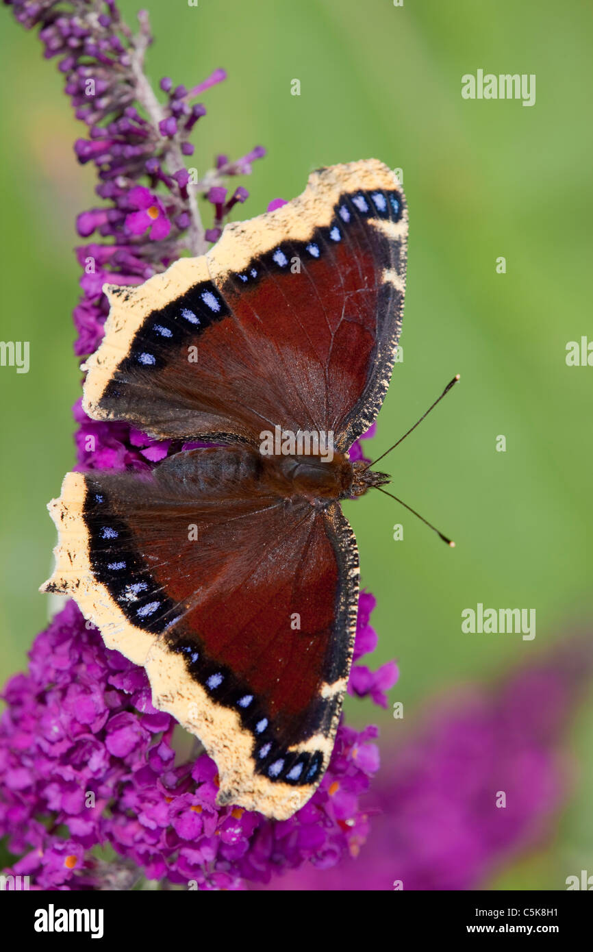 Camberwell Beauty Butterfly; Nymphalis antiopa; on buddleia - Stock Image