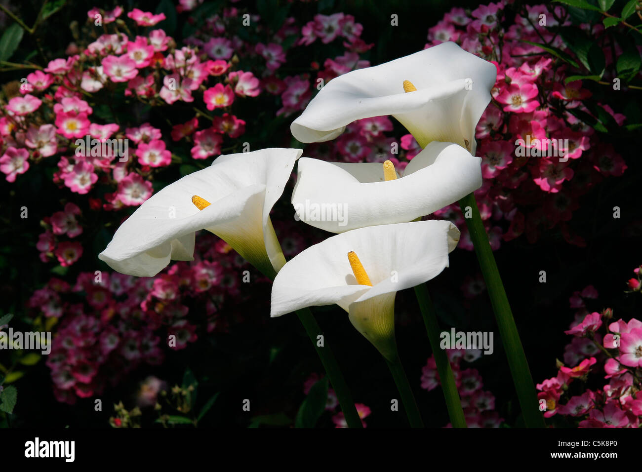Arum in bloom. - Stock Image