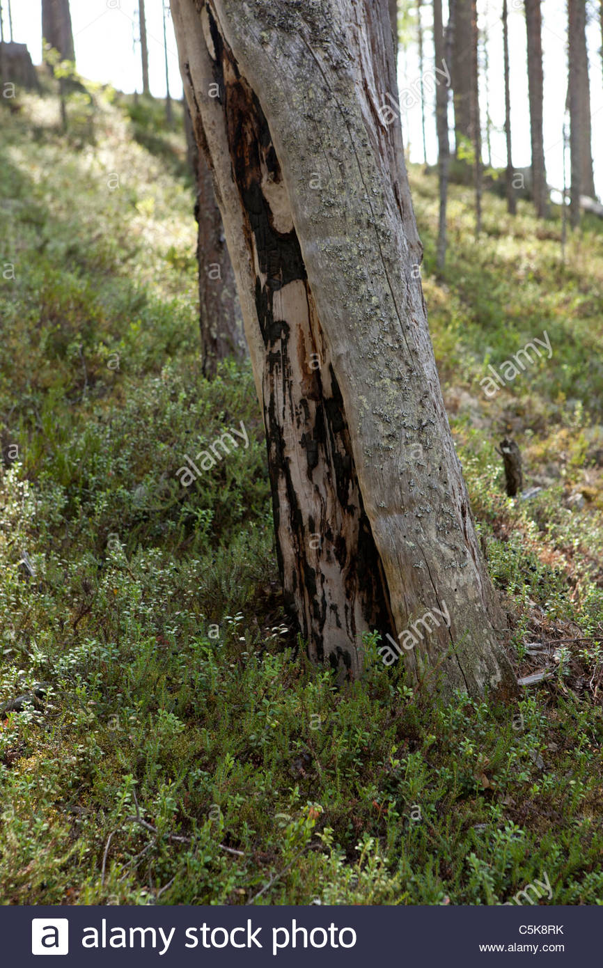 Old soot on a dead tree after an ancient forest fire. Could be over 100 years old. - Stock Image