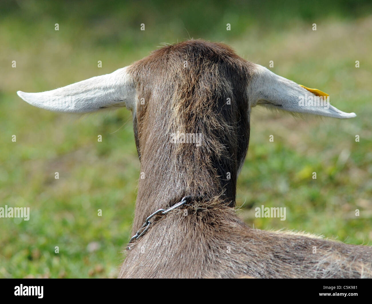 The back of a British Toggenburg goats' head. - Stock Image
