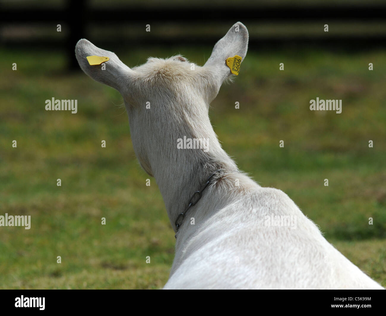 The back of a British Saanen goat - Stock Image