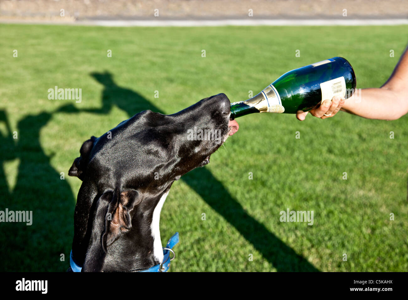 Dana, Great Dane, checking out flavor. - Stock Image