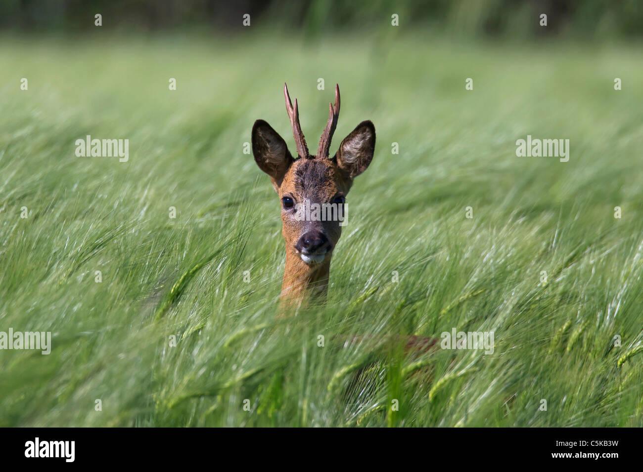Roe deer (Capreolus capreolus) buck hiding in field, Germany - Stock Image