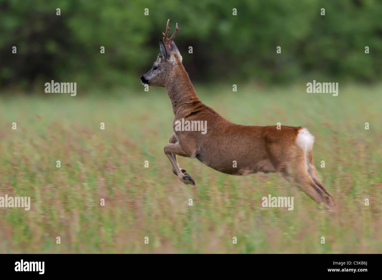 Roe deer (Capreolus capreolus) buck jumping in field, Germany - Stock Image