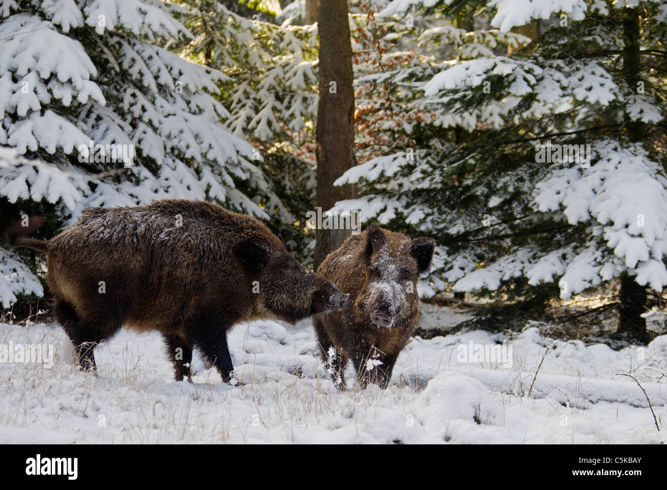 Two Wild boars (Sus scrofa) meeting in pine forest in the snow in winter, Germany - Stock Image