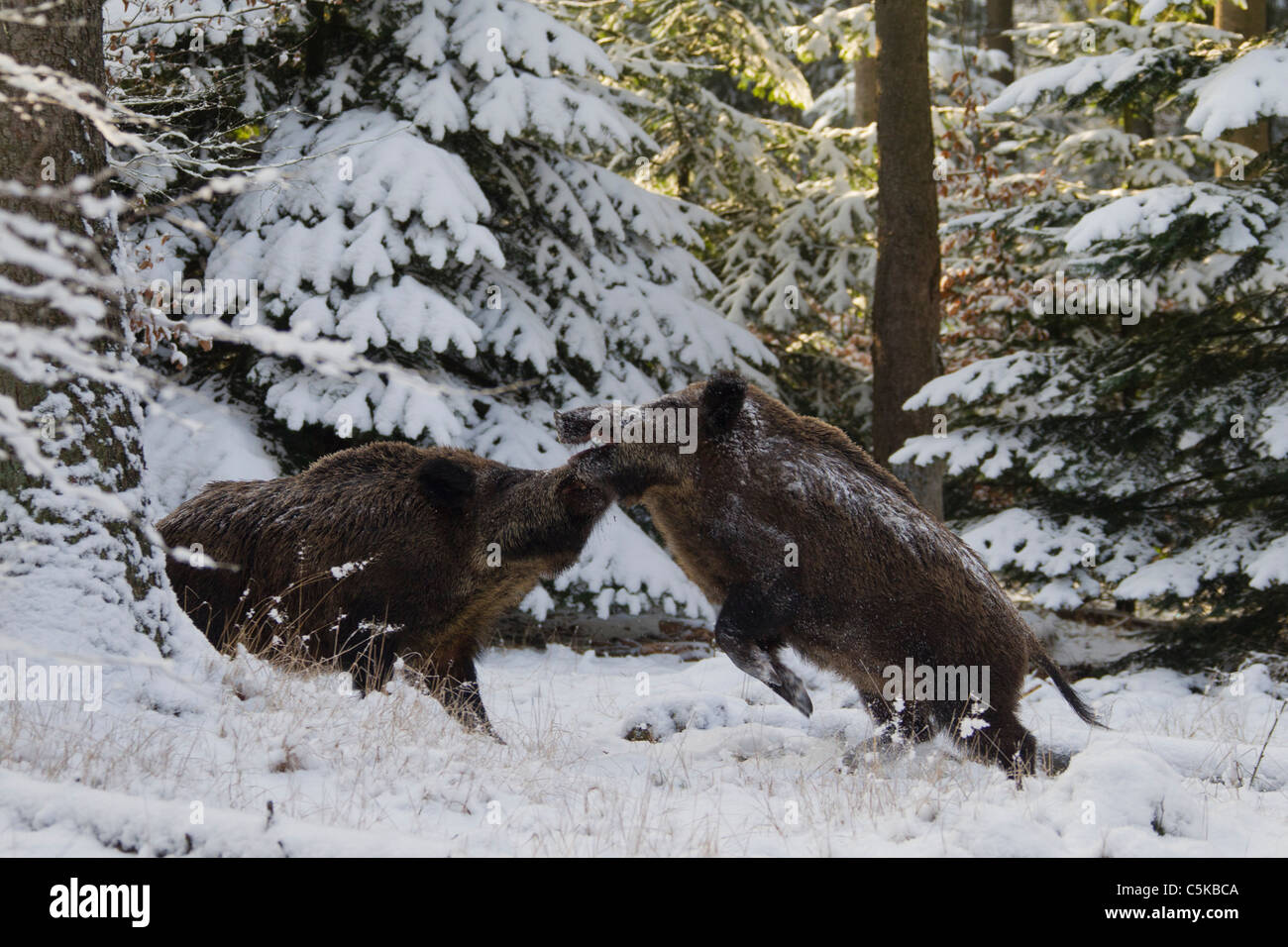 Two Wild boars (Sus scrofa) fighting in pine forest in the snow in winter, Germany - Stock Image