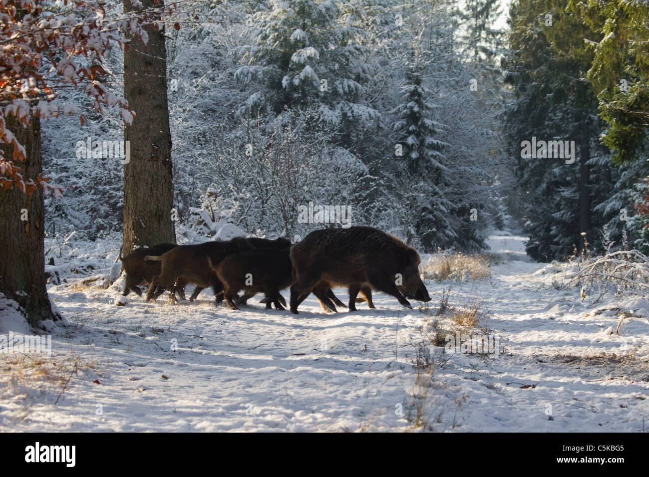 Wild boar (Sus scrofa) sounder in fire lane in pine forest in the snow in winter, Germany - Stock Image