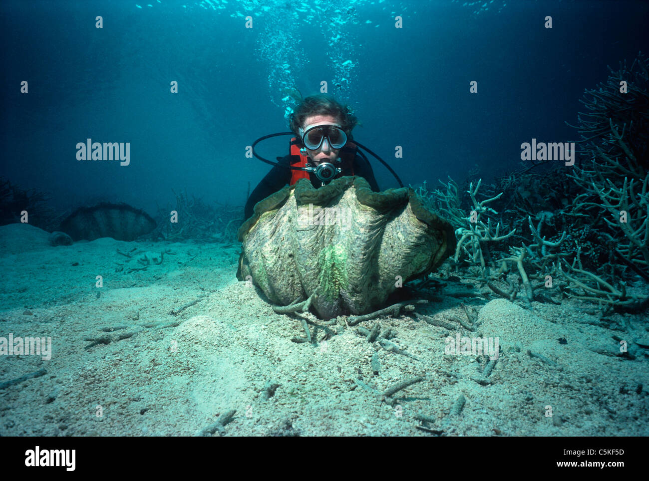 Diver examining a Giant Fluted Clam (Tridacna squamosa) on a coral reef. Palau, Micronesia - Pacific Ocean - Stock Image