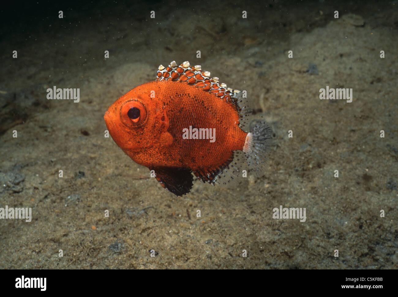 Juvenile Short Bigeye Fish (Pristigenys alta) rests near ocean floor in Hodgekin's Cove, Gloucester, MA - Atlantic - Stock Image