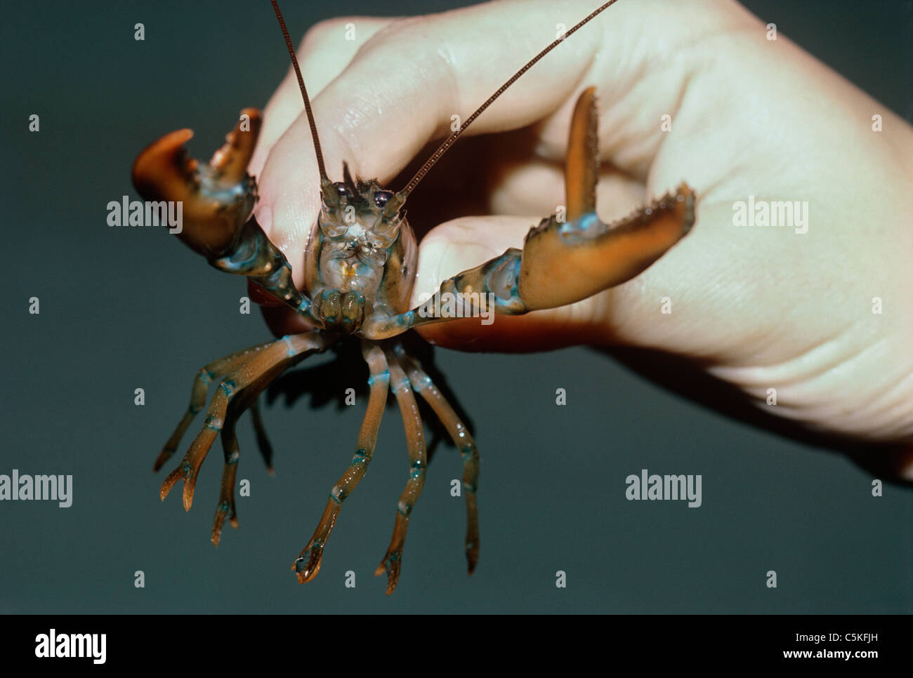 A two-year old American Lobster (Homarus americanus). Woods Hole Oceanographic Institution, Woods Hole, Massachusetts, - Stock Image