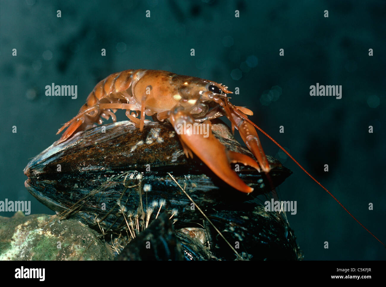 One-Year old American Lobster (Homarus americanus) scavenges on a mussel.  Massachusetts, USA - Stock Image
