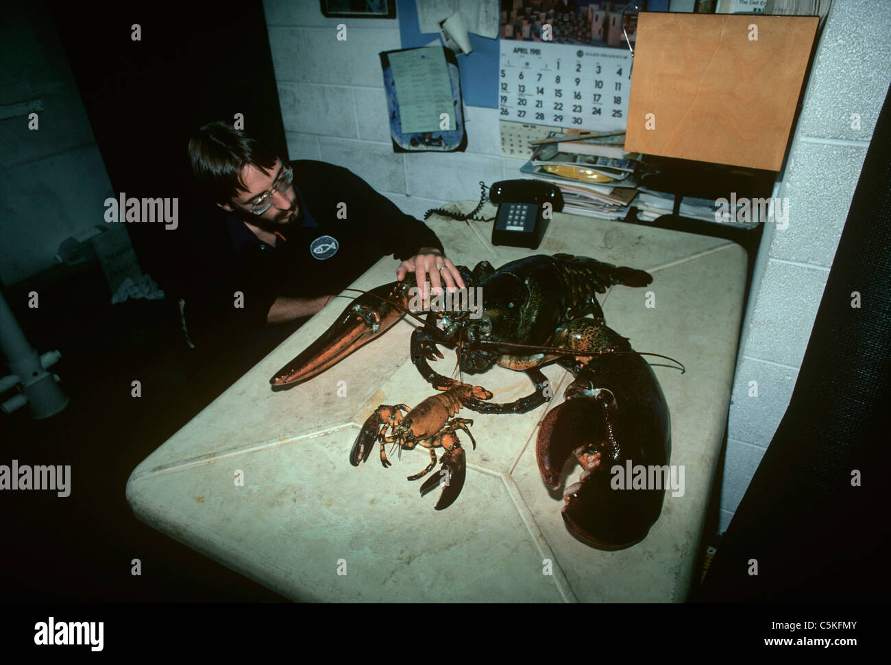 A scientist comparing a 35 pound American lobster (Homarus americanus) to a smaller lobster.  New England Aquarium, - Stock Image