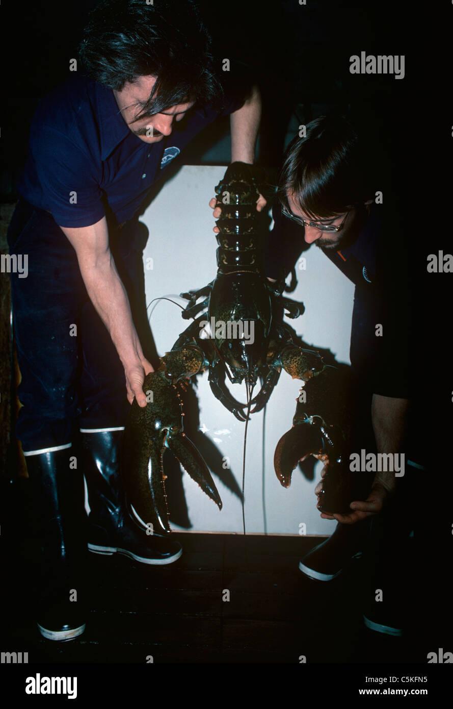 Two scientists holding a 35 pound American lobster (Homarus americanus). New England Aquarium, Boston, Massachusetts, - Stock Image