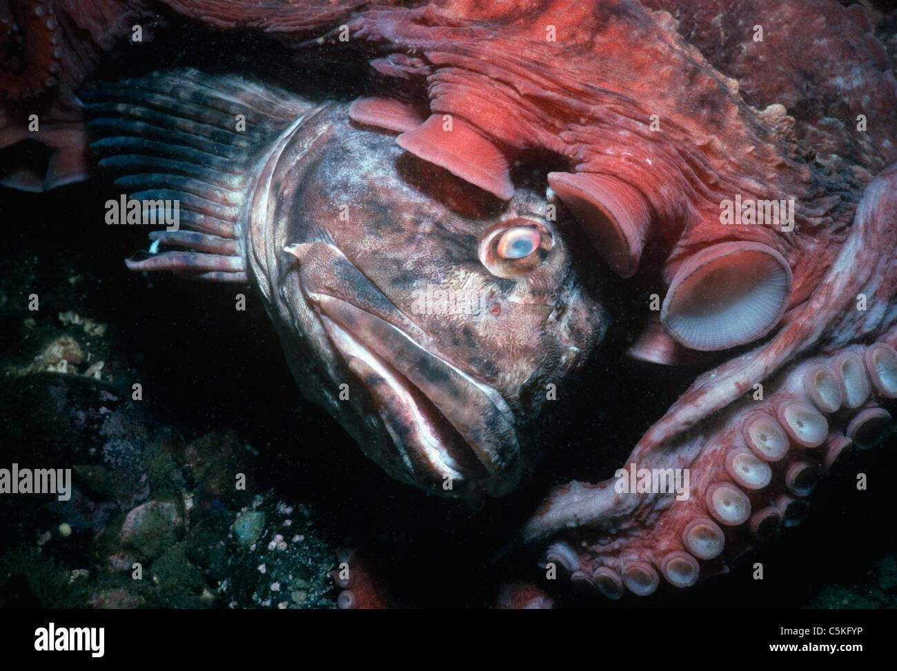 Giant Pacific Octopus (Enteroctopus dofleini) eating a ... - photo#1
