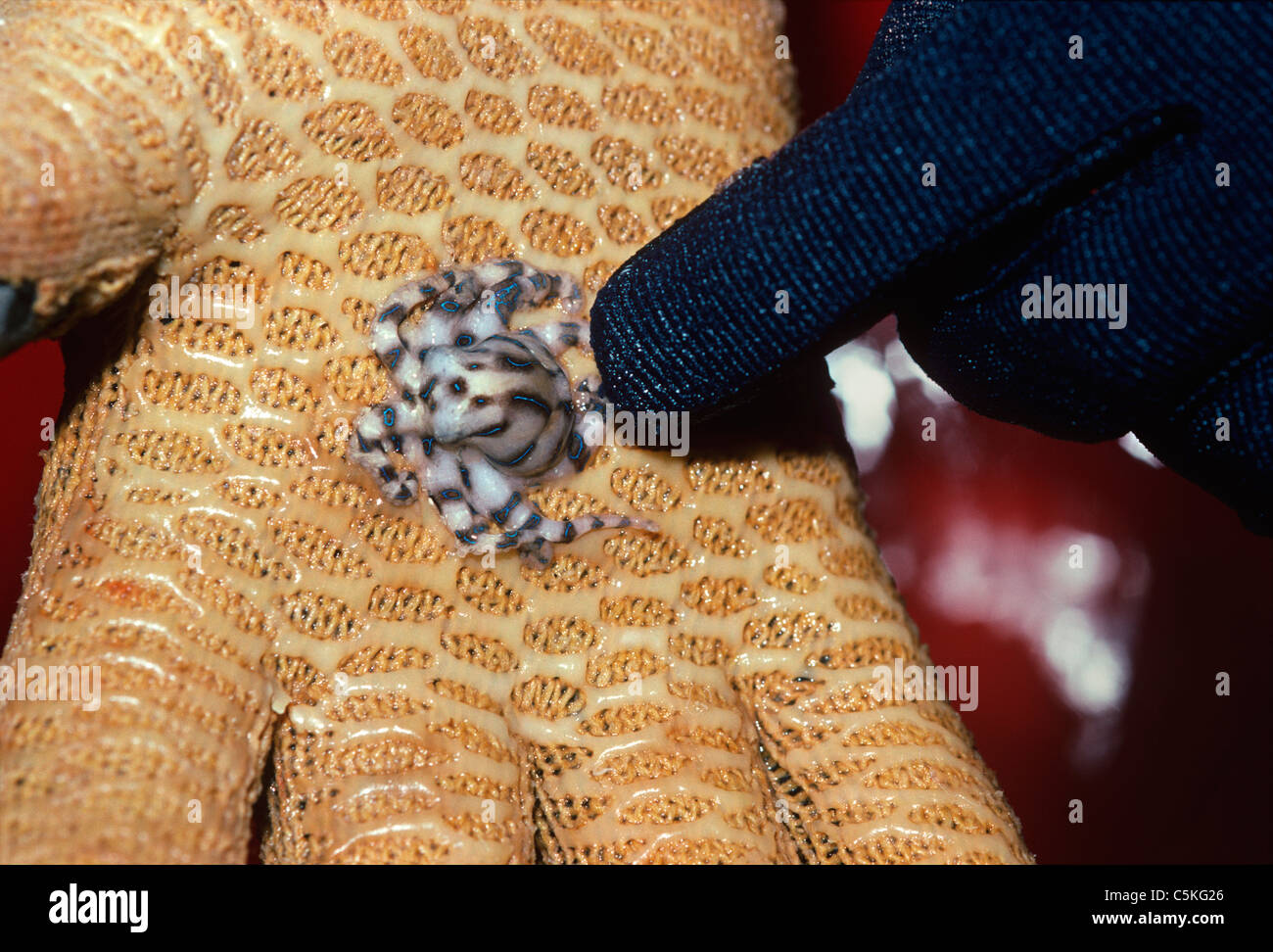 Scientist Holding A Poisonous Blue Ringed Octopus