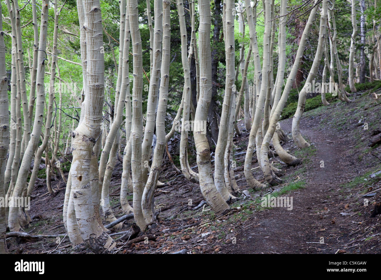 Baker, Nevada - Crooked aspen trees along a trail in Great Basin National Park. - Stock Image