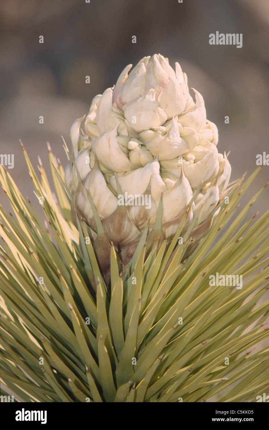 naturaleza, planta, cactus, desierto, repollando, espinas, pullas, biologia, textura, california, ca, usa, Michael - Stock Image