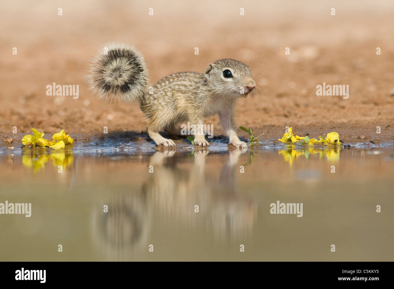 Mexican Ground Squirrel Spermophilus mexicanus or Ictidomys mexicanus drinking from water hole Southwestern USA - Stock Image