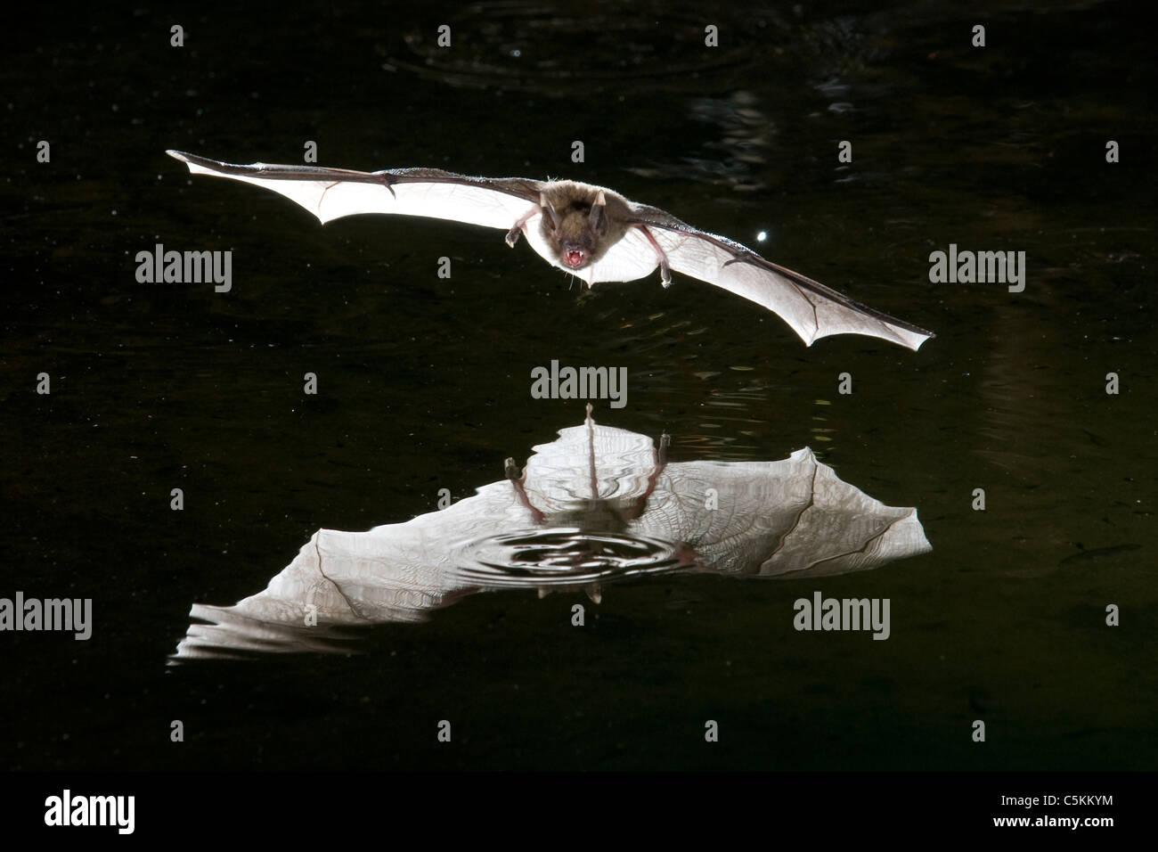 Bat in flight hunting over pond Southwestern United States - Stock Image