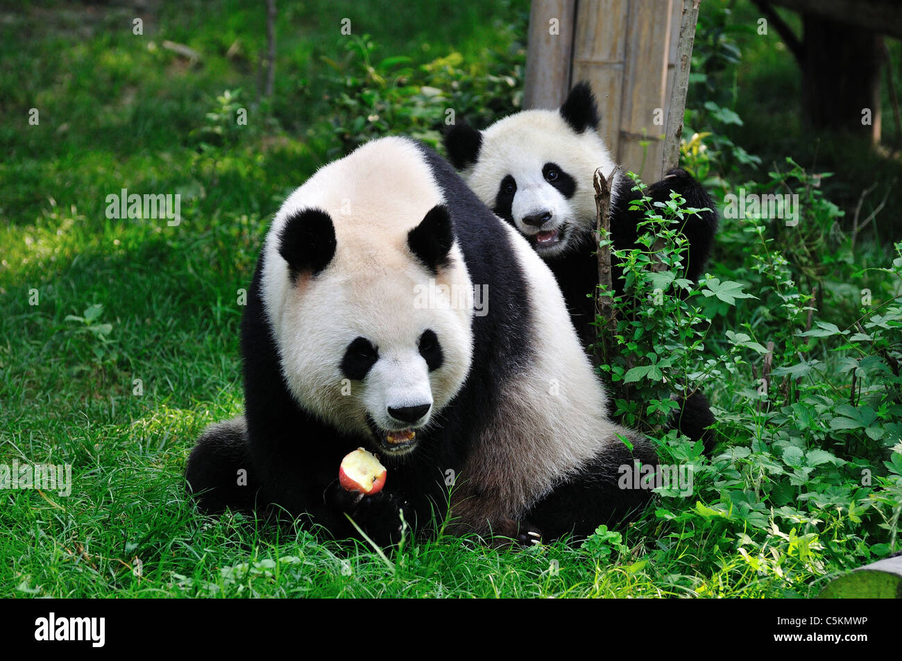 Giant panda mom and cub. Chengdu, Sichuan, China. - Stock Image