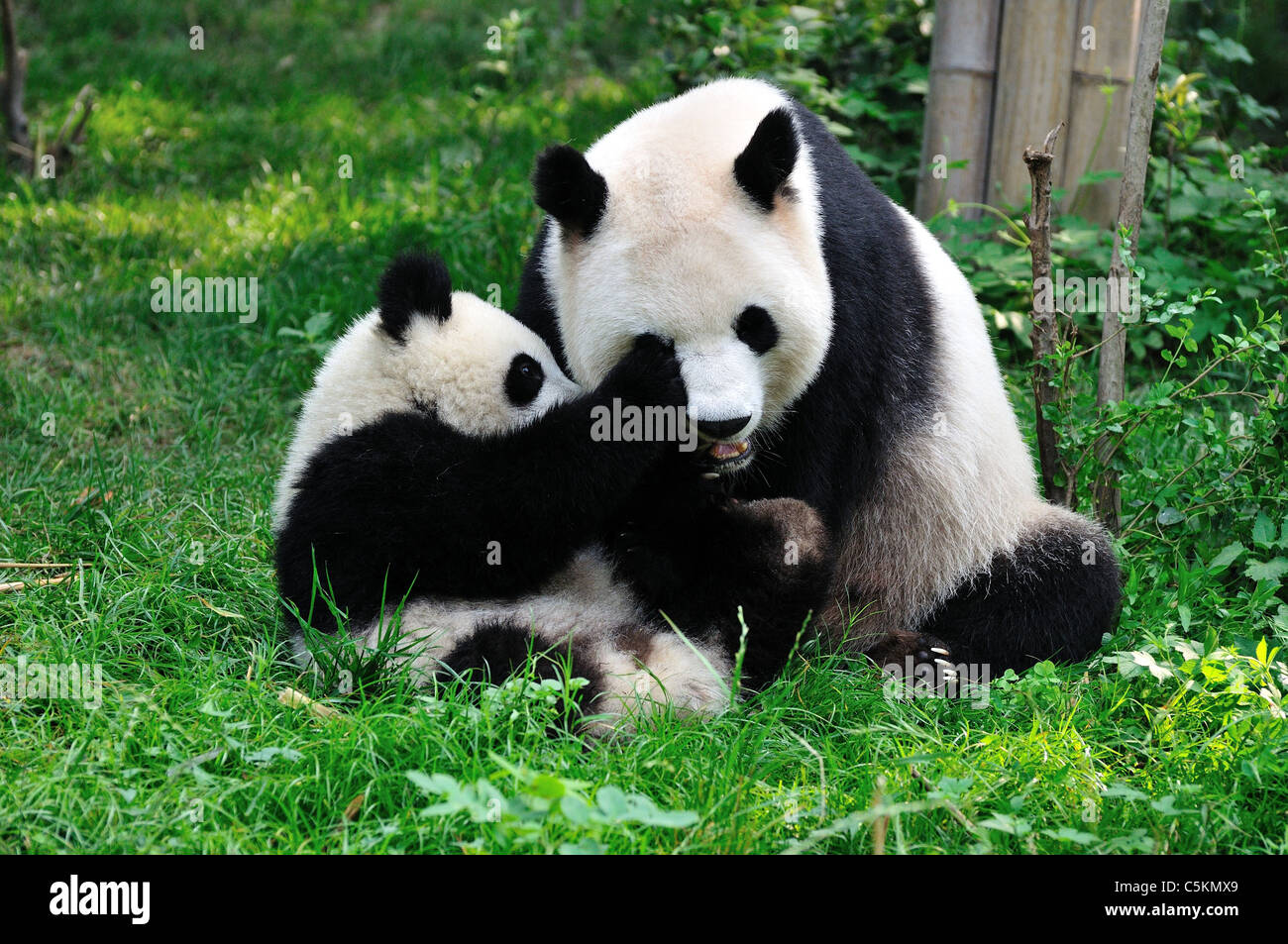 Giant pandas playing in grass. Chengdu, Sichuan, China. - Stock Image