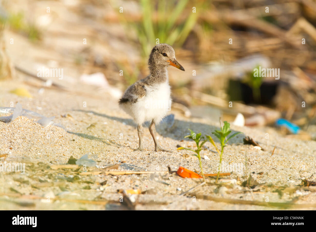 American Oystercatcher chick posing on the polluted beach - Stock Image